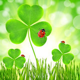 Clover leaf and ladybugs Royalty Free Stock Photography