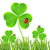 Clover leaf and ladybugs Stock Images