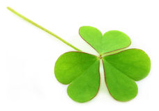 Clover leaf over white background. Close up of a clover leaf over white background stock photo
