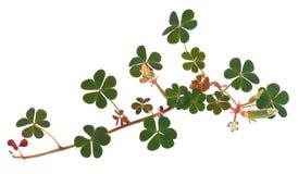 Clover leaf over white background. Clover leaf with flower and bud over white background stock images