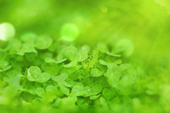 Clover leaf on right green blurred background Royalty Free Stock Images