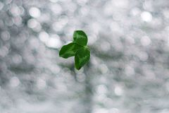 Clover leaf on silver bokeh background. St.Patrick `s Day royalty free stock images