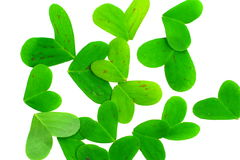Clover leafs. On a white background Stock Images