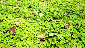 Clover. Leans to the field and scatters n the clover Stock Photo