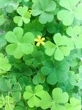 Clover leave and flower background. Close up of clover leave with yellow flower background Stock Images