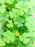 Clover leave and flower background. Close up of clover leave with yellow flower background Stock Photos