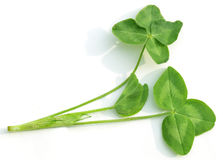 Clover Leaves Royalty Free Stock Images