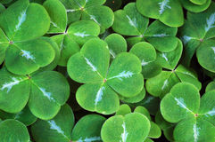 Clover leaves. Carpet of clover leaves, close-up shot royalty free stock photo