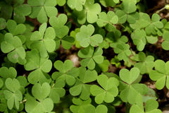 Clover leaves Stock Image