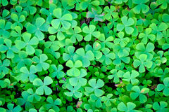 Clover leaves Stock Photos