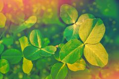 Clover leaves on a background summer landscape. St.Patrick `s Day stock image