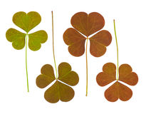 Clover Leaves Collection Royalty Free Stock Photography