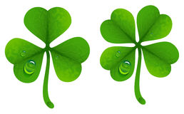 Clover leaves with drops of dew. Lucky Clover leaf. Four-leaf and trifoliate clover. Isolated on white vector illustration Royalty Free Stock Photos