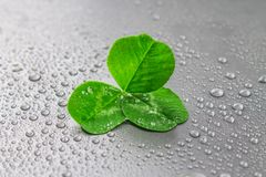 Clover leaves on a gray background with droplets of water. St.Patrick's Day. Clover leaves on a gray background with droplets of water. St.Patrick's Day stock photos