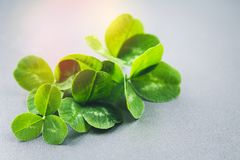 Clover leaves on a gray background with droplets of water. St.Patrick 's Day. Clover leaves on a gray background with droplets of water. St.Patrick 's Day Royalty Free Stock Photography