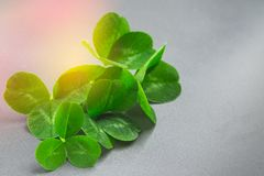 Clover leaves on a gray background with droplets of water. St.Patrick 's Day. Clover leaves on a gray background with droplets of water. St.Patrick 's Day Royalty Free Stock Photo