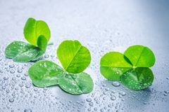Clover leaves on a gray background with droplets of water. St.Patrick 's Day. Stock Photos