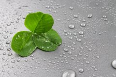 Clover leaves on a gray background with droplets of water. St.Patrick \'s Day. Clover leaves on a gray background with droplets of water. St.Patrick \'s Day Royalty Free Stock Images