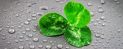 Clover leaves on a gray background with droplets of water. St.Patrick's Day. stock photography