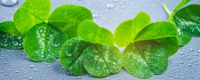Clover leaves on a gray background with droplets of water. St.Patrick's Day. Clover leaves on a gray background with droplets of water. St.Patrick's Day royalty free stock image