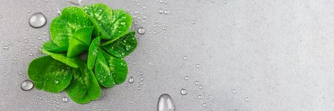 Clover leaves on a gray background with droplets of water. St.Patrick's Day. Clover leaves on a gray background with droplets of water. St.Patrick's Day royalty free stock images