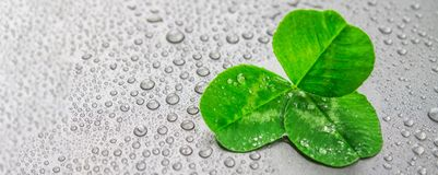 Clover leaves on a gray background with droplets of water. St.Patrick's Day. Clover leaves on a gray background with droplets of water. St.Patrick's Day stock images