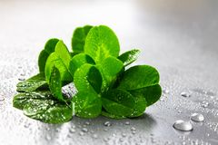 Clover leaves on a gray background with droplets of water. St.Patrick 's Day. Clover leaves on a gray background with droplets of water. St.Patrick 's Day Royalty Free Stock Image