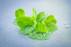Clover leaves on a gray background with droplets of water. St.Patrick 's Day. Clover leaves on a gray background with droplets of water. St.Patrick 's Day Stock Photography
