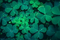 Clover Leaves for Green background. With three-leaved shamrocks. St. Patrick`s day holiday symbol royalty free stock photography