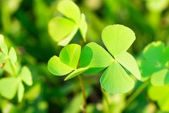 Clover Leaves for Green background with three-leaved shamrocks. royalty free stock images