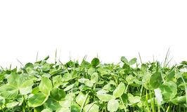 Clover leaves , isolated on white Stock Photos