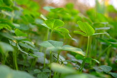 Clover leaves on lawn Stock Image