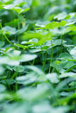 Clover leaves Stock Photo