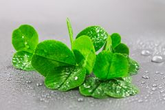 Free Clover Leaves On A Gray Background With Droplets Of Water. St.Patrick  S Day. Royalty Free Stock Photo - 94413505