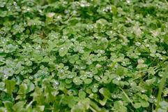 Clover leaves in rain drops Royalty Free Stock Images