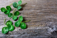 Clover leaves setup on rustic wooden background. St. Patricks day greeting card. Three-leaves shamrock Irish festival symbol. Copy space royalty free stock images