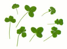 Clover leaves. Three, four and  five leaves - for success (natural). Royalty Free Stock Photography