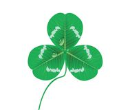 Clover leaves with waterdrop (vector) Royalty Free Stock Image