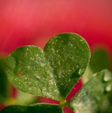 Clover Love Stock Photography