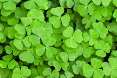 Clover. Many sheets of green clover royalty free stock images