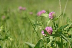 Clover meadow. Clover flowers on a meadow Royalty Free Stock Photo