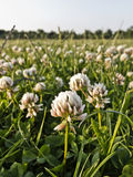 Clover meadow Stock Photography