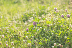 Clover in meadow Royalty Free Stock Image