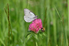 On clover. Midsummer. Butterfly woke up and greets the new day. This gentle and fragile creature eats Royalty Free Stock Photography