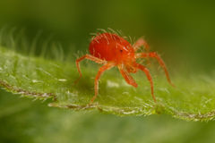 Clover mite Royalty Free Stock Images