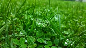 Clover in morning dew royalty free stock photos