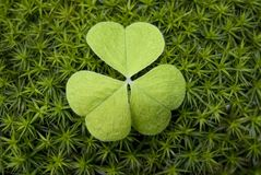 Clover in moss. Green clover in moss macro Royalty Free Stock Photography