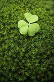 Clover in moss. Green clover in moss macro Royalty Free Stock Image