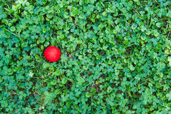 Clover natural field green texture with red ball Royalty Free Stock Images