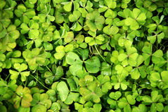 Clover in nature. Green colorful Royalty Free Stock Photos